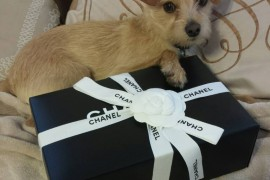 Dog with Chanel Box