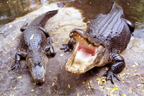 Alligator farmers angry with Hermes