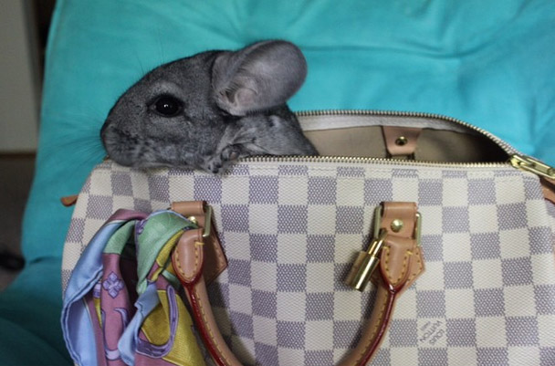 Cocoa Puff Chinchilla