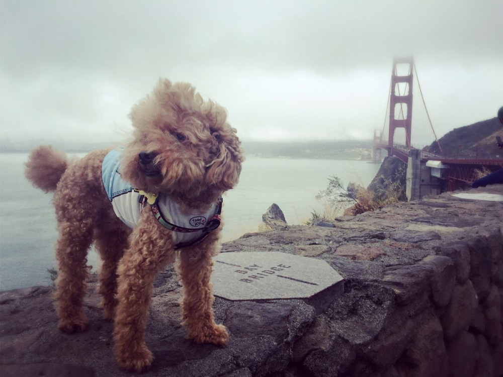 san-francisco-pup